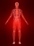 cardiovaskuläres system des menschen