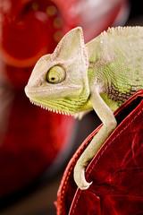 Crocodile texture & Chameleon