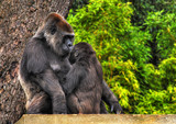 An HDR image of a mother and baby gorilla poster