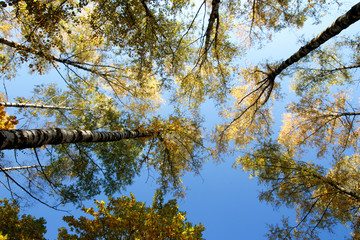 blue sky and trees with yellow foliage