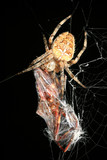 Closeup of orb weaver spider with prey poster