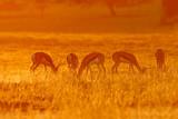 Springbok antelopes in dust at sunrise, Kalahari, South Africa poster