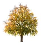 Isolated pear tree in Autumn, early October poster
