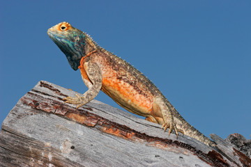 Male ground agama (Agama aculeata), Kalahari, South Africa