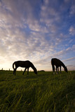 two horses grazing on meadow, silhouettes in evening mood poster
