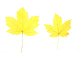 Autumn - colorful October tree leaves. Isolated yellow maple. poster