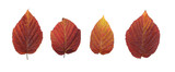 Autumn - colorful October tree leaves. Isolated red raspberry. poster