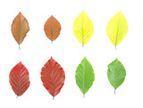 Autumn - colorful October tree leaves. Isolated leaves. poster