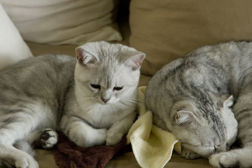 chaton british shorthair et scottish fold