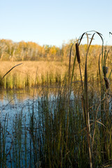 A small marsh with bullrushes on the edge