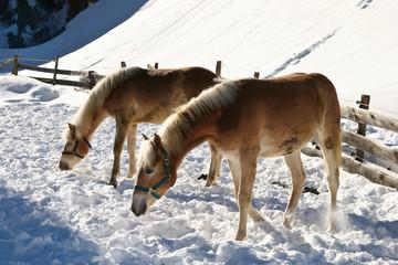 Pferde suchen Nahrung im Schnee