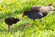 A pukeko feeds scraps to it's chick