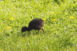 A pukeko chick forages in the grass