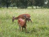 deer animal wildlife park doe fawn hind