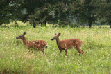 deer young animal red hind fawn park summer