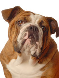 red brindle english bulldog female - one year old poster
