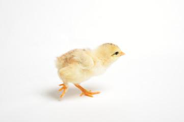 Close up of a newborn chick running away