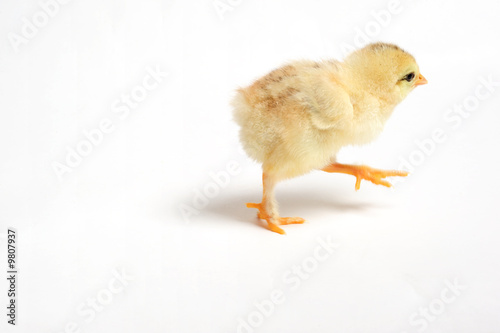 Close up of a newborn chick running away