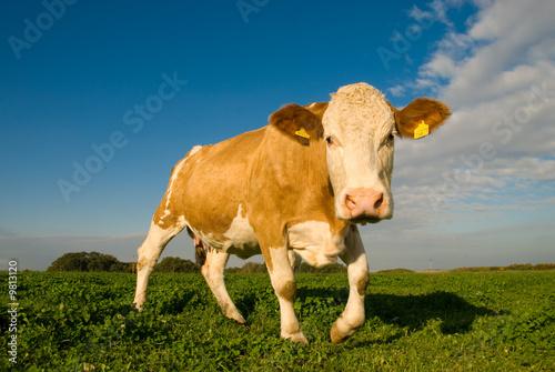 Aluminium Ein schönes Rind