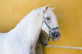 A white Andalucian stallion horse poster