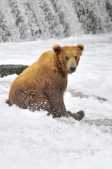 Brown Bear sits relaxed