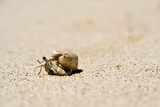 slow hermit crab on the white samoan beach poster