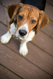 A young beagle dog looking at the camera out of curiosity. poster
