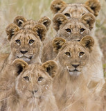Family of African Lions looking very alert poster