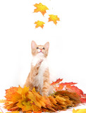 red fluffy cat with autumn leaves poster