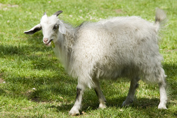 Young goat in zoo