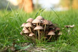 Group of poisonous mushrooms in a green forestgrass poster