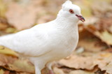 white dove with slice of bread in beak poster