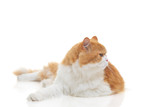 Siamese cat on alert isolated against white background poster
