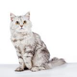 Gray fluffy cat on white background studio shot poster