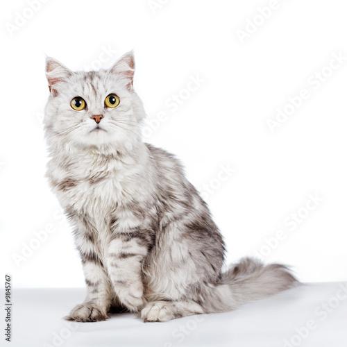 poster of Gray fluffy cat on white background studio shot