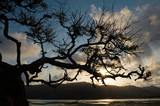 tree struggling to survive at beach in silhouette poster
