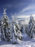 Mountain spruce trees under thick snow cover poster