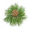 Siberian pine cone with branch isolated on white