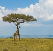 giraffe and a tree, masai mara, kenya