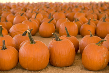 Horizontal image of pumpkins in a pumpkin patch.