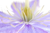 Perspective shot of blue clematis flower