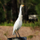 Cattle egret,  (Bubulcus ibis), commonly seen in Florida poster