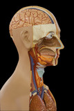 Educational anatomic model of a human body. poster