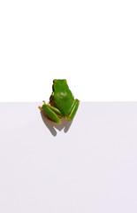 grenouille, reinette verte sur pancarte blanche