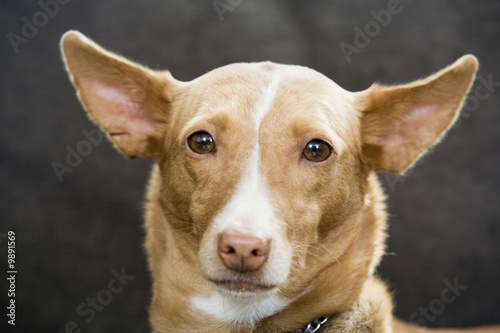 Portrait of Pharaoh hound