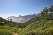 Plantation de thé Kérala Inde