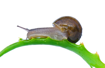 Common garden snail on leaves of aloe, isolated on white