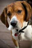 A young beagle dog tilting his head with his ears perked up poster