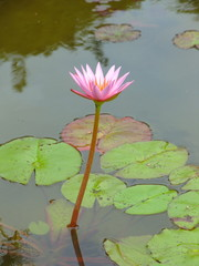 Beautiful And Fresh Lotus In The Pond