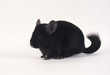 chinchilla noir détourable